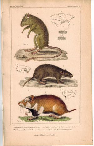 Gerbil Hamster & Meadow campagnole 1837 Antique Engraved Cuvier Print