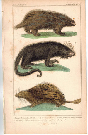 Urson Porcupine 1837 Antique Engraved Cuvier Print