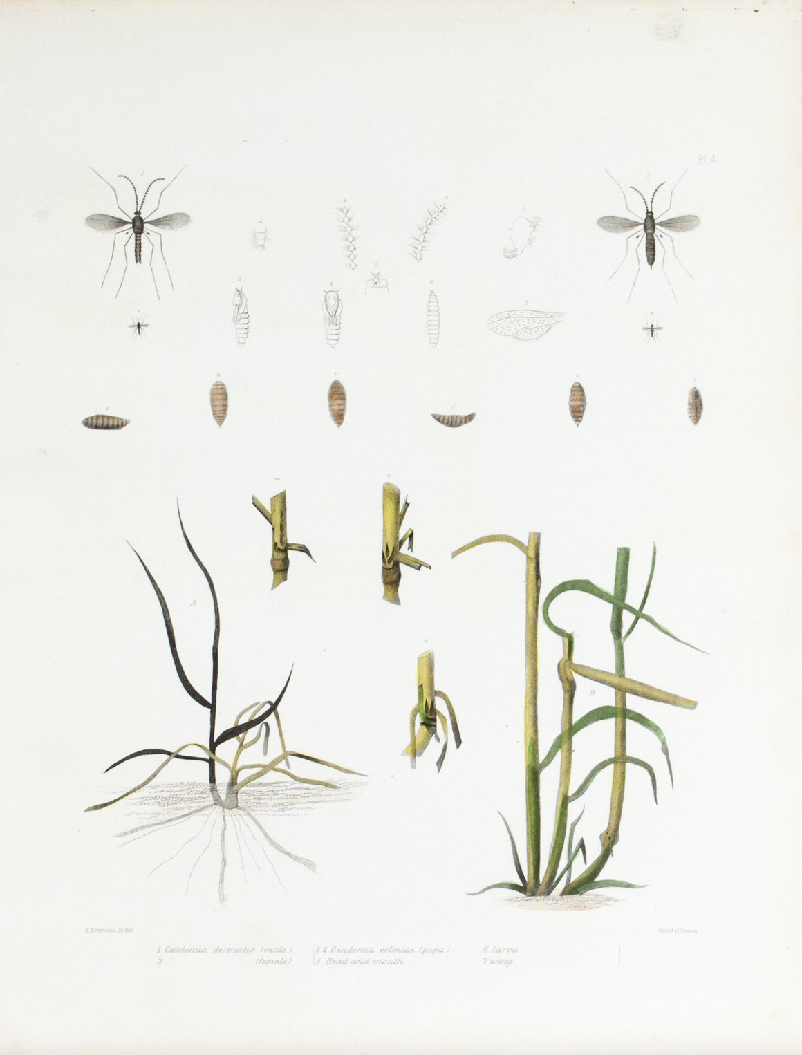 1854 Plate 4 - Hessian Fly - Emmons