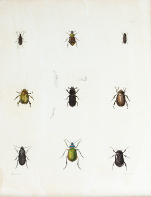 1854 Plate 10 - Ground Beetles - Emmons