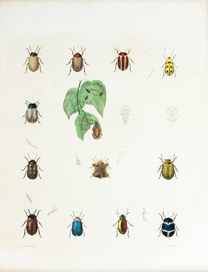 1854 Plate 14 -Leaf Beetles - Emmons