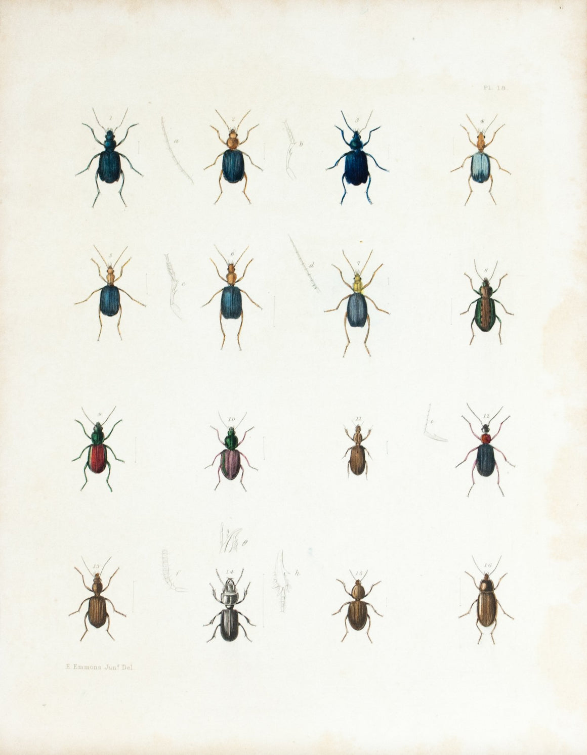1854 Plate 18 - Ground Beetle - Emmons