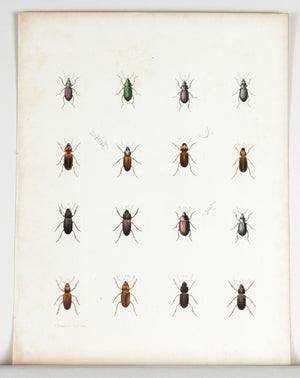 1854 Plate 19 - Ground Beetle - Emmons