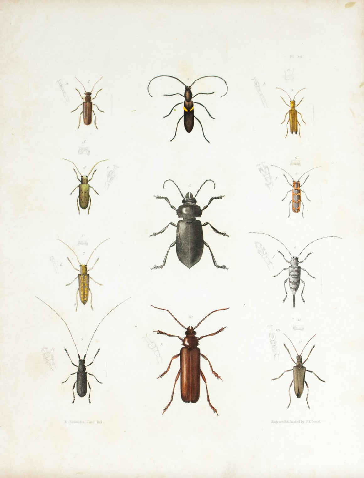 1854 Plate 34 - Long Horned Beetle - Emmons
