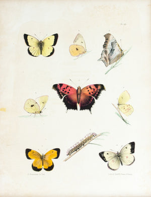 1854 Plate 35 -Orange Sulphur Butterfly - Emmons