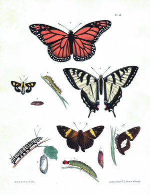 1854 Plate 38 - Monarch Butterfly - Emmons