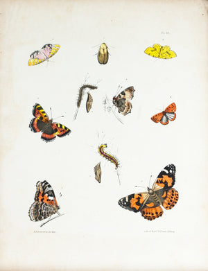 1854 Plate 46 - Painted Lady Butterfly - Emmons