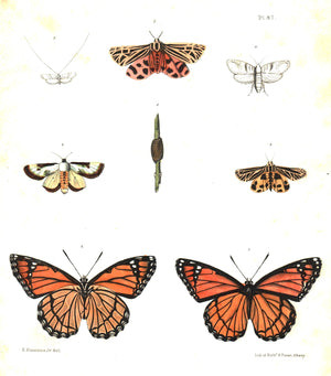 1854 Plate 47 - Monarch Butterfly - Emmons