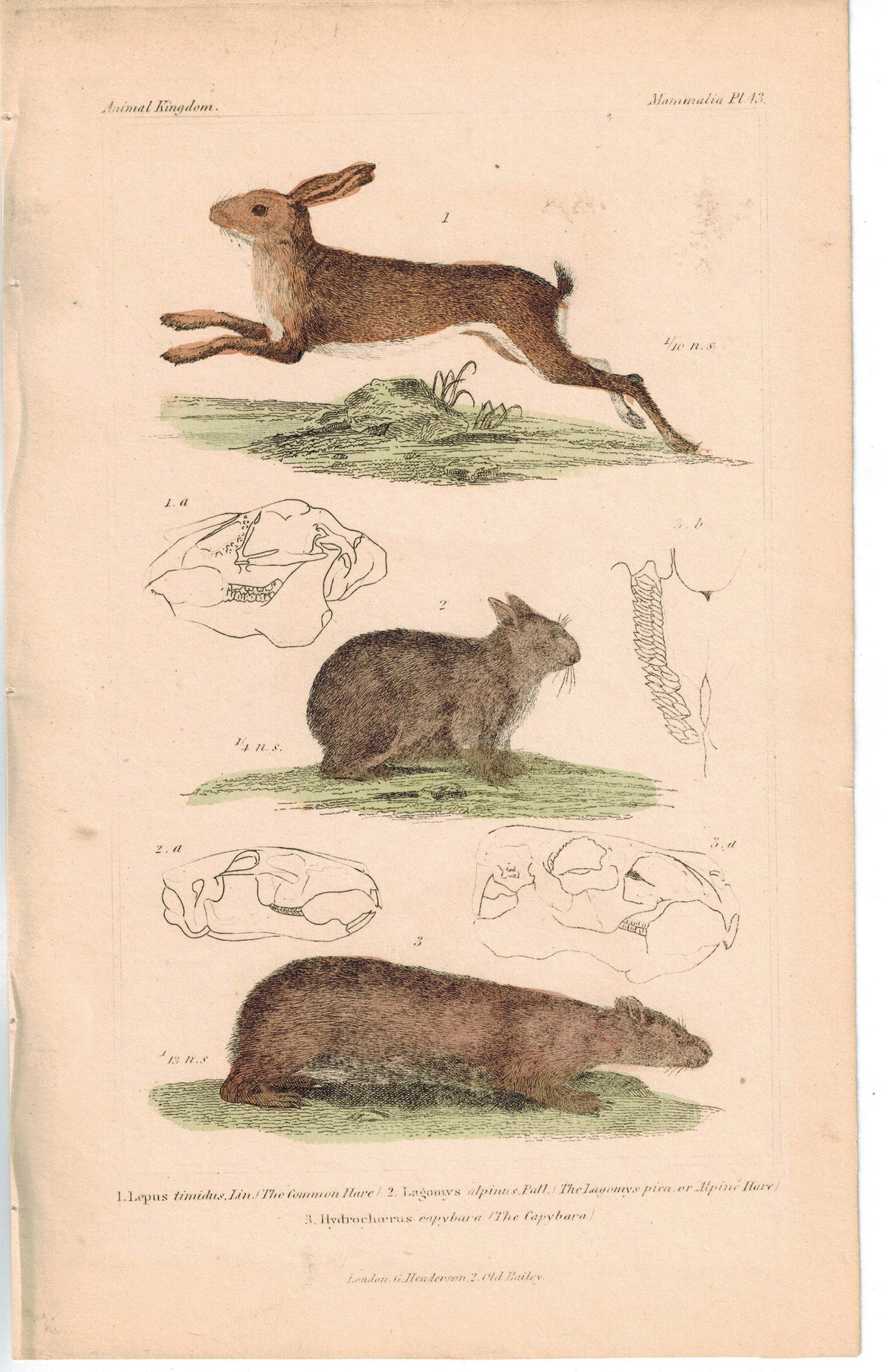 Common and Alpine Hare & Capybara Guinea Pig 1837 Engraved Cuvier Print