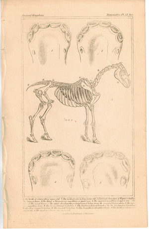 Anatomy  Horse  Skeleton and Teeth 1837 Antique Engraved Cuvier Print