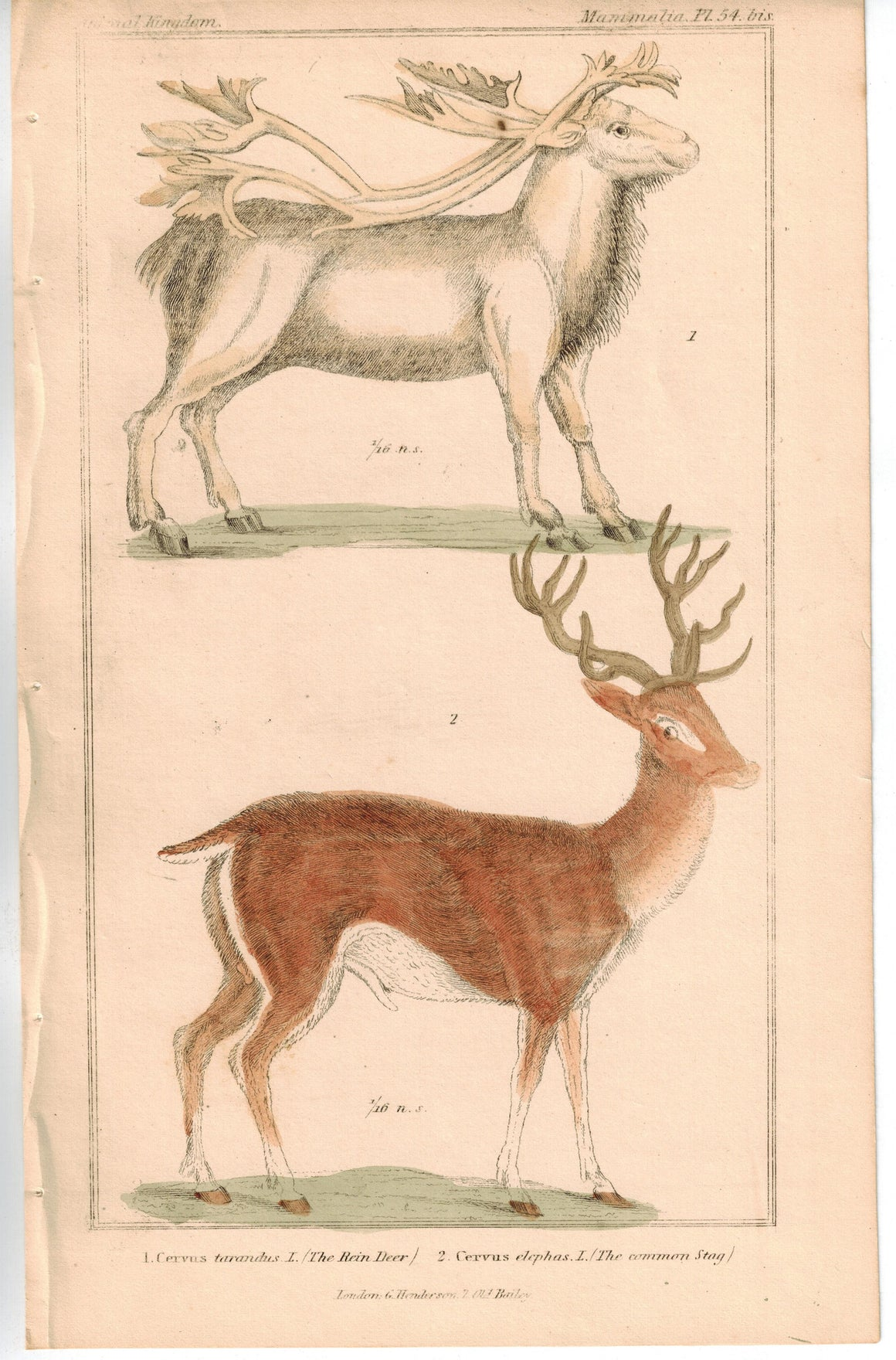 Reindeer and Common Stag 1837 Antique Hand Color Engraved Print