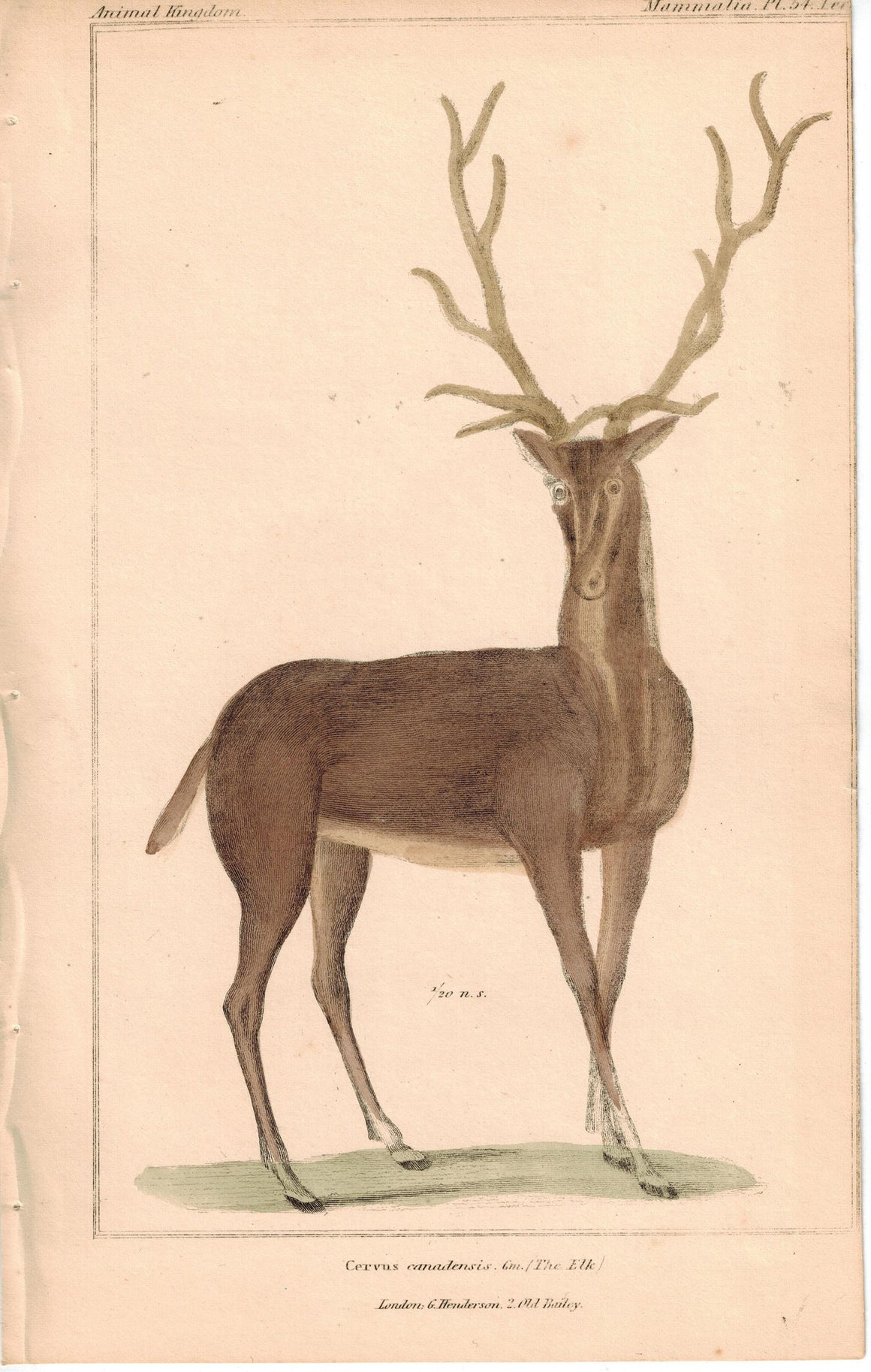 Elk Deer Cervidae 1837 Antique Engraved Cuvier Print