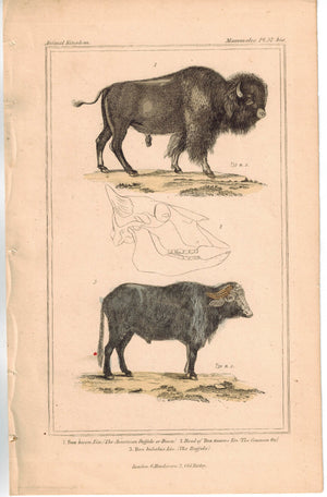 American Buffalo Bison Head of Ox 1837 Antique Engraved Cuvier Print