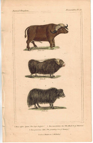 Musk Ox & Bos Moschatus 1837 Antique Engraved Cuvier Print