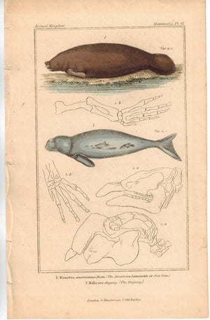 American Lamantin Sea Cow & Dugong 1837 Antique Engraved Cuvier Print
