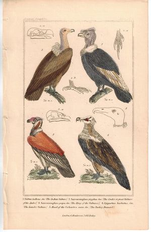 Birds Indian Vulture Condor & Turkey Buzzard 1837 Engraved Cuvier Print