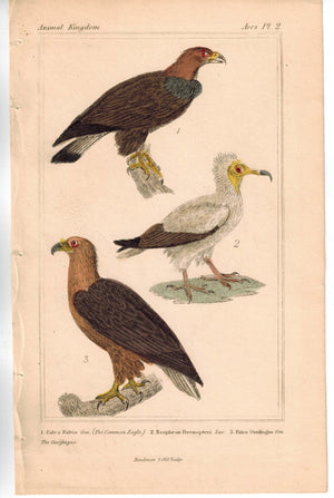 Birds Eagle Neophron Egyptian Vulture Falcon 1837 Engraved Cuvier Print