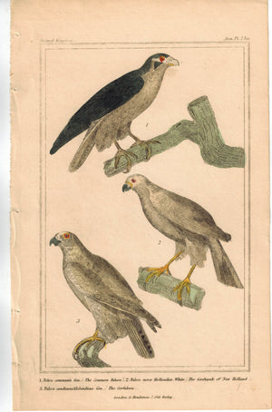 Birds Falcon Goshawk of New Holland & Gerfalcon 1837 Engraved Cuvier Print