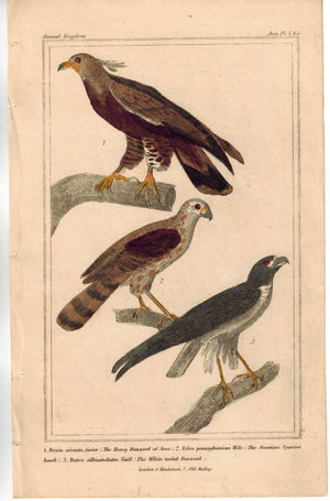 Birds Honey Buzzard of Java Falcon American Sparrow 1837 Cuvier Print