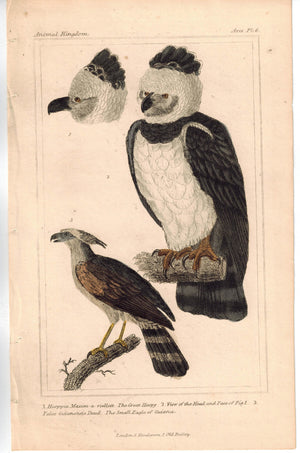 Birds Great Harp Eagle with Small Eagle of Guiana 1837 Engraved Cuvier Print