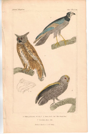 Birds Falcon and Grand Duc Eagle Owl 1837 Antique Engraved Cuvier Print