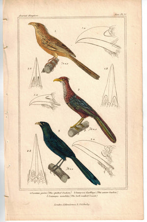 Birds spotted Cuckoo Bird & lark-nailed Coucal 1837 Engraved Cuvier Print