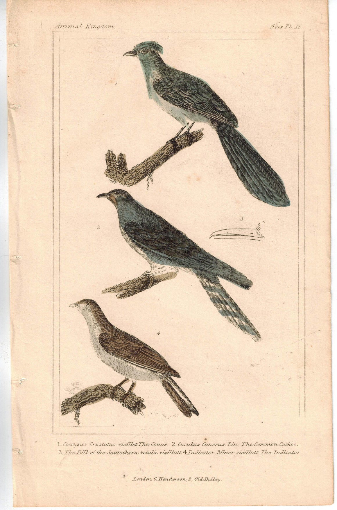 Birds Couas with Common Cuckoo Bird 1837 Antique Engraved Cuvier Print