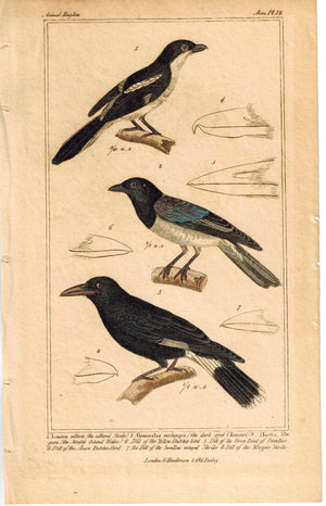 Birds Collared Shrike Dark Eyed Choucari & Norfolk Island Waker 1837 Color Print