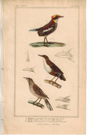 Birds Ant-catcher Waterthrush & African Trush 1837 Engraved Cuvier Print