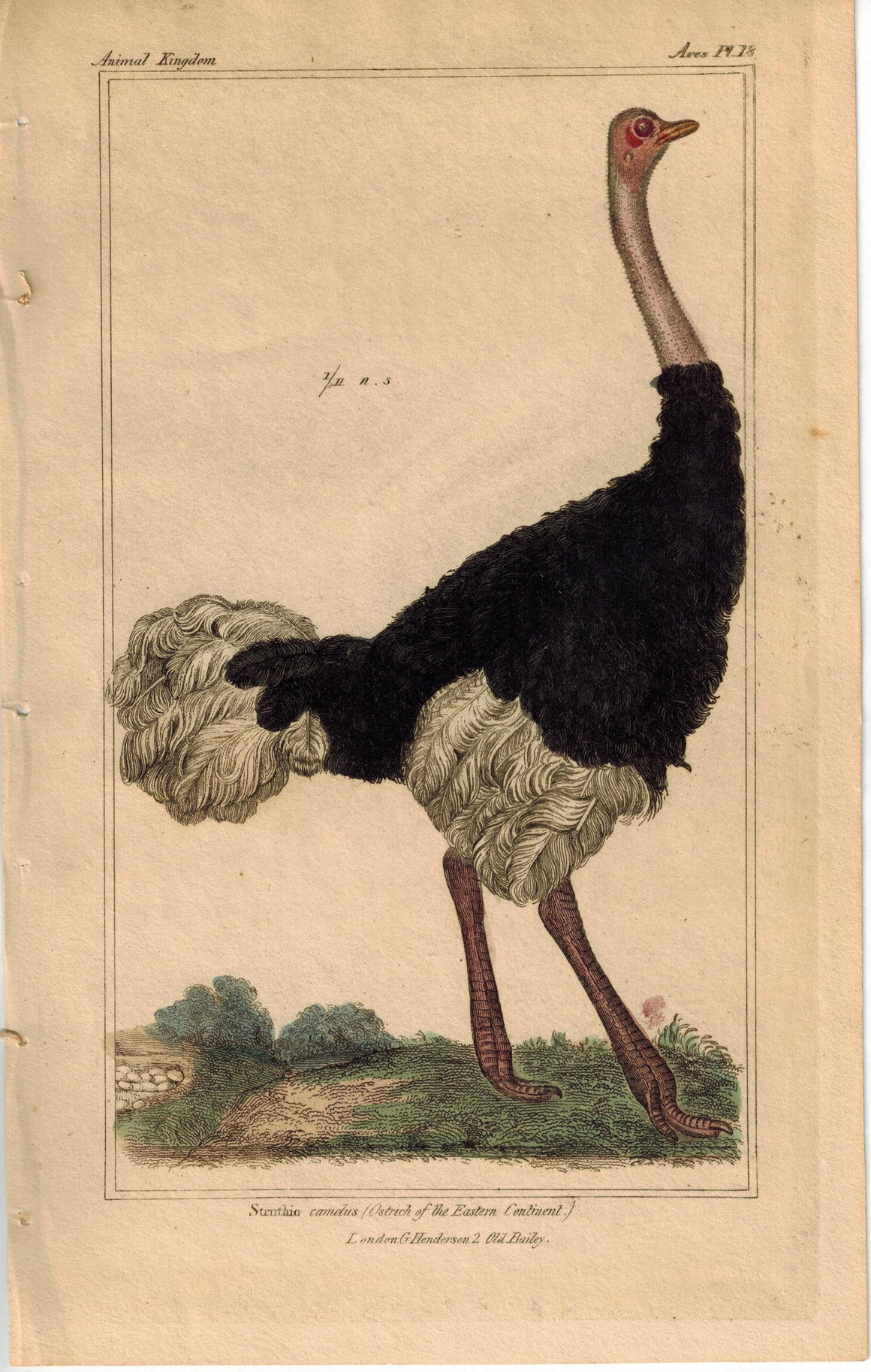 Birds Ostrich of the Eastern Continent Struthio Camelus 1837 Cuvier Print