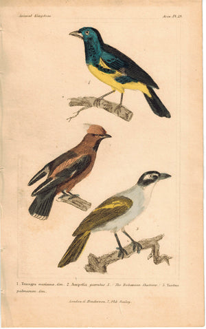 Birds Tanagra Mexicana & Bohemian Chatterer 1837 Engraved Cuvier Print