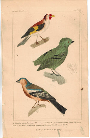 Birds Common Goldfinch Green Cock of the Rock & Mountain Finch Cuvier Print