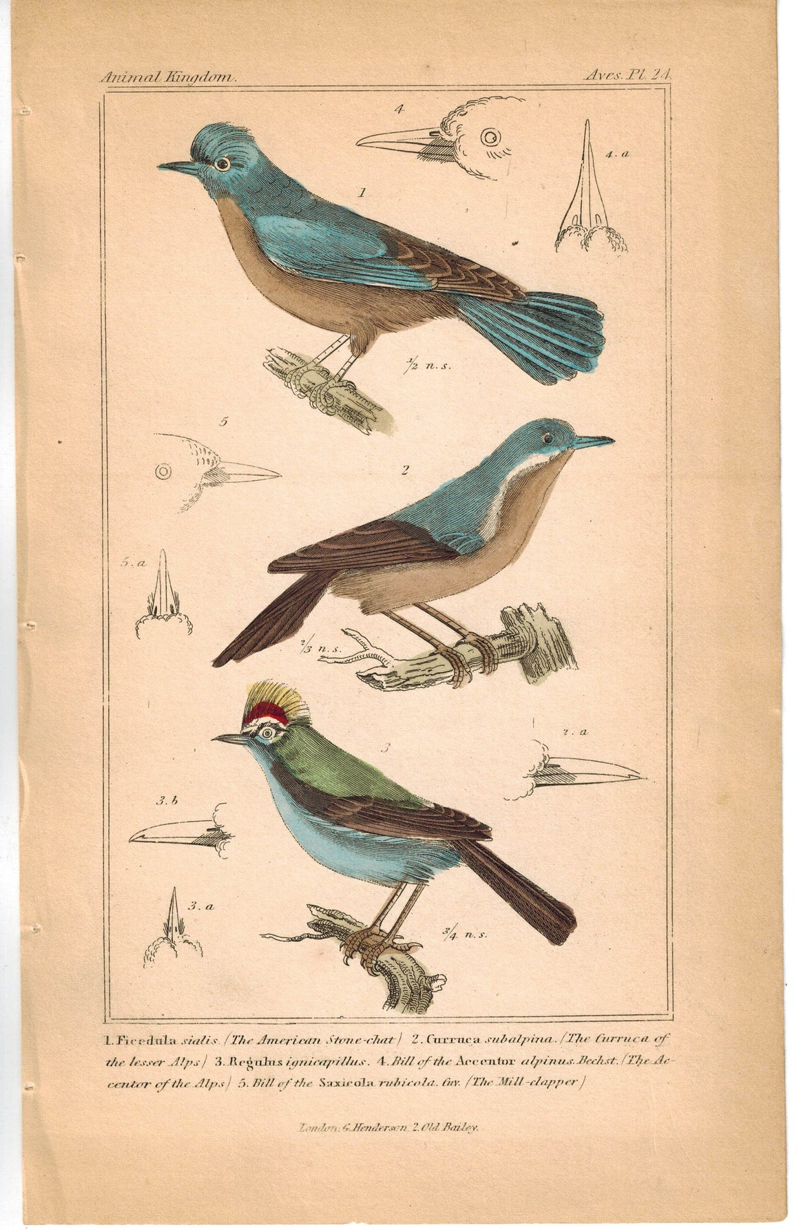 Birds American Stone-chat & Gurruca of the lesser Alps 1837 Cuvier Print