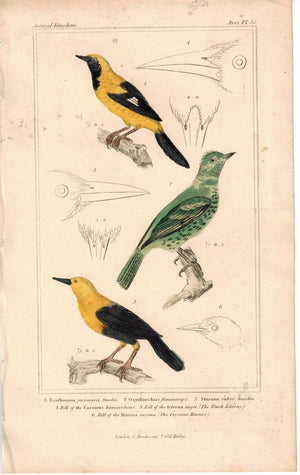 Birds Gmelin & Flammiceps 1837 Antique Engraved Cuvier Print