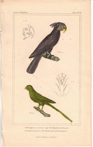 Birds Black-Horned Paroquet & Beautiful Nimble Paraquet 1837 Cuvier Print