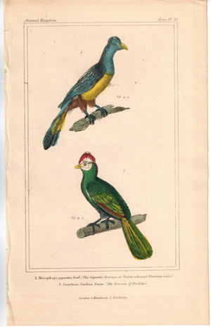 Birds Violet-coloured Plantain Eater & Turaco of Pauline 1837 Cuvier Print
