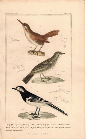 Birds European Wren Wagtail & Tree Pipit 1837 Antique Engraved Cuvier Print