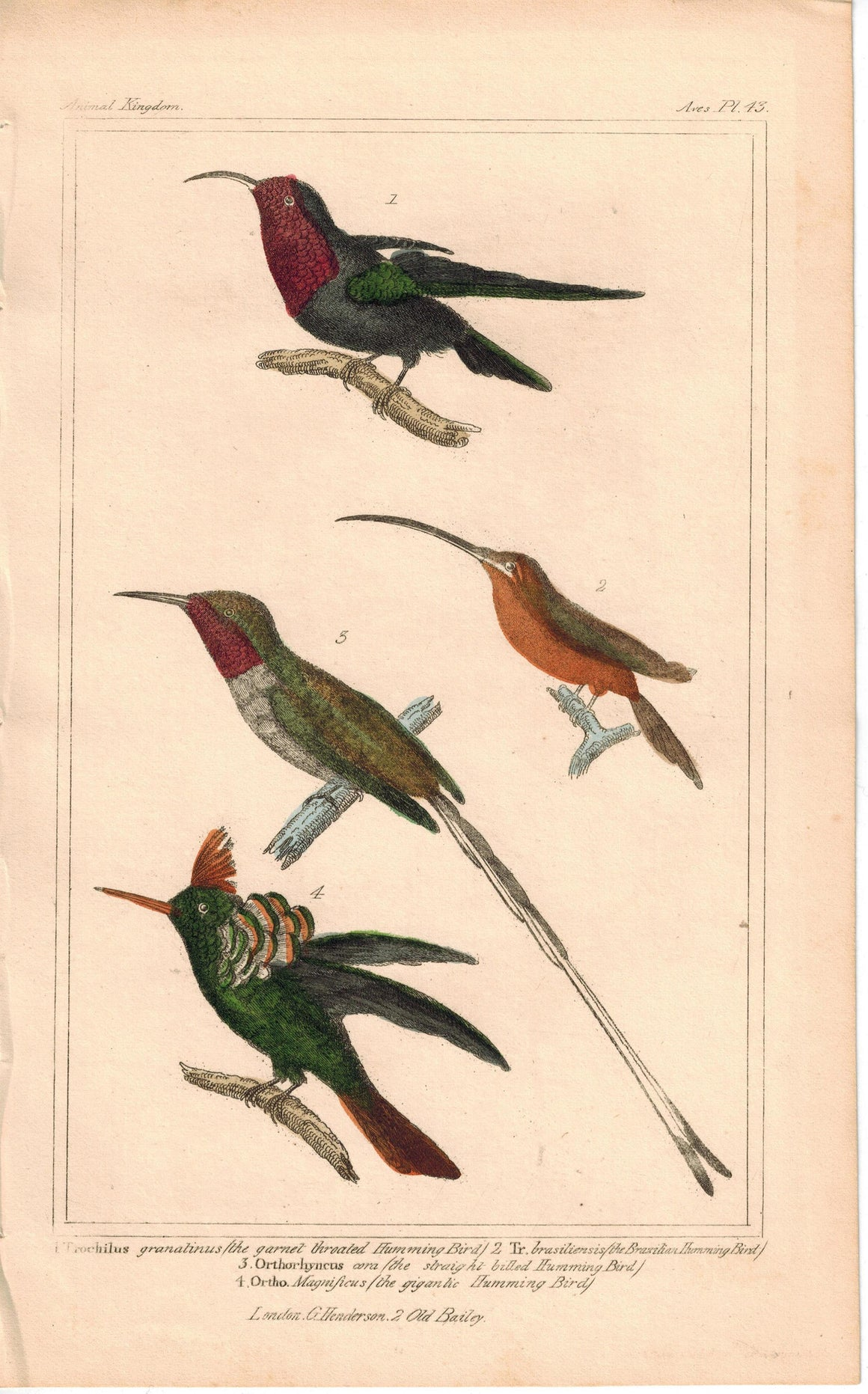 Birds Hummingbird Family 1837 Antique Engraved Cuvier Print