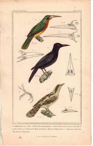 Birds Vaill The Woodpecker of lesson & Common Wryneck 1837 Engraved Cuvier Print