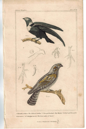 Birds Collared Swallow & Goat-sucker of Cuvier 1837 Antique Cuvier Print
