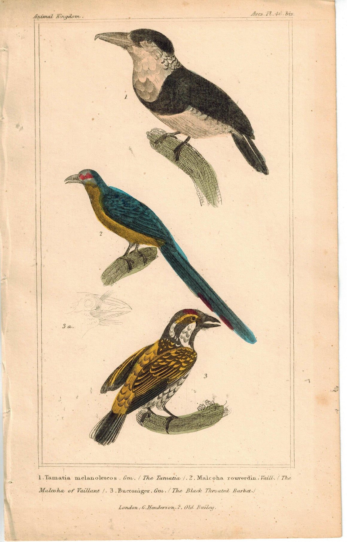 Birds Tamatia Malkoha & Black Throated Barbet 1837 Engraved Cuvier Print