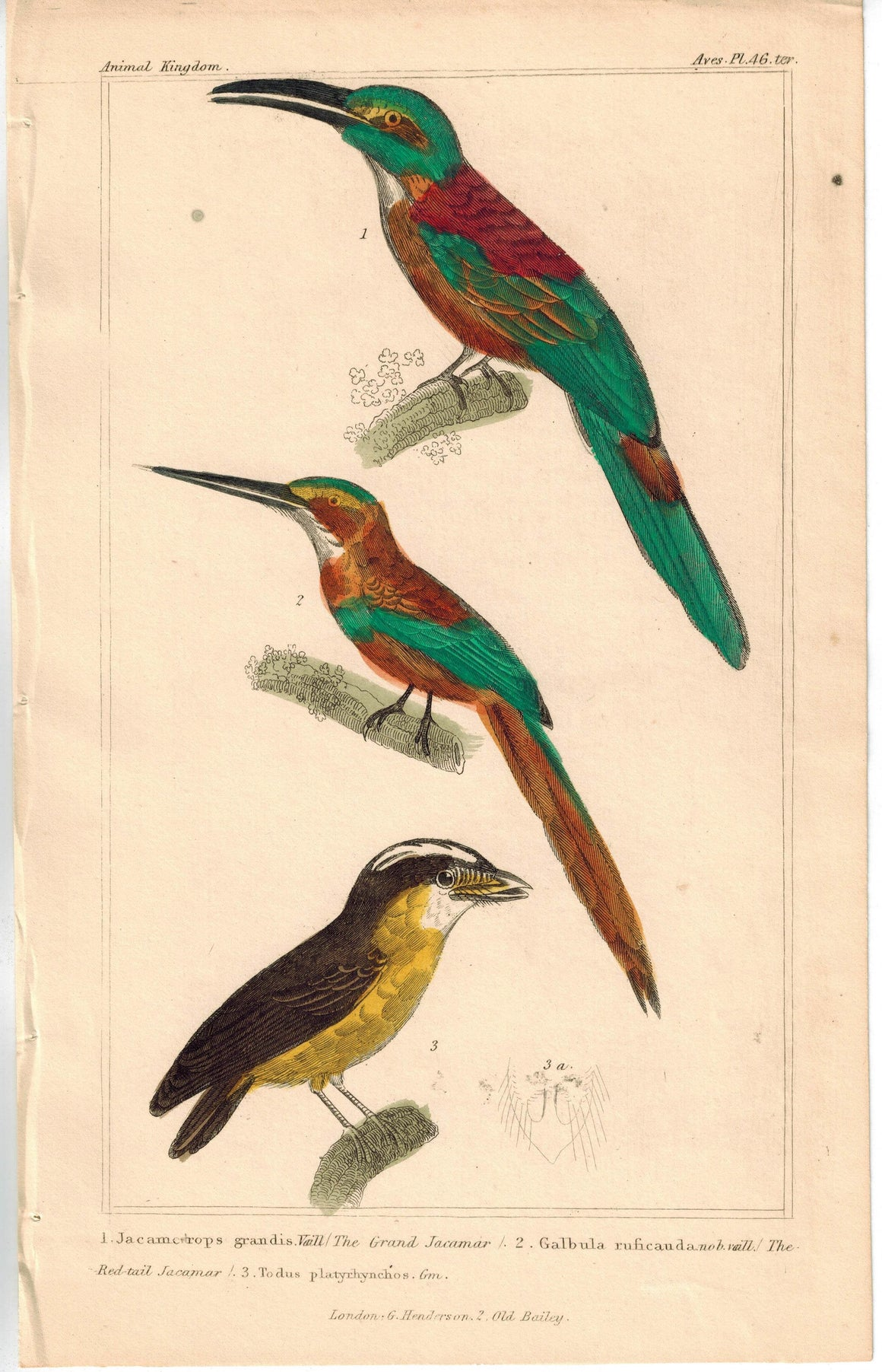Birds Grand Jacamar Red-tail Jacamar & Tody 1837 Engraved Cuvier Print