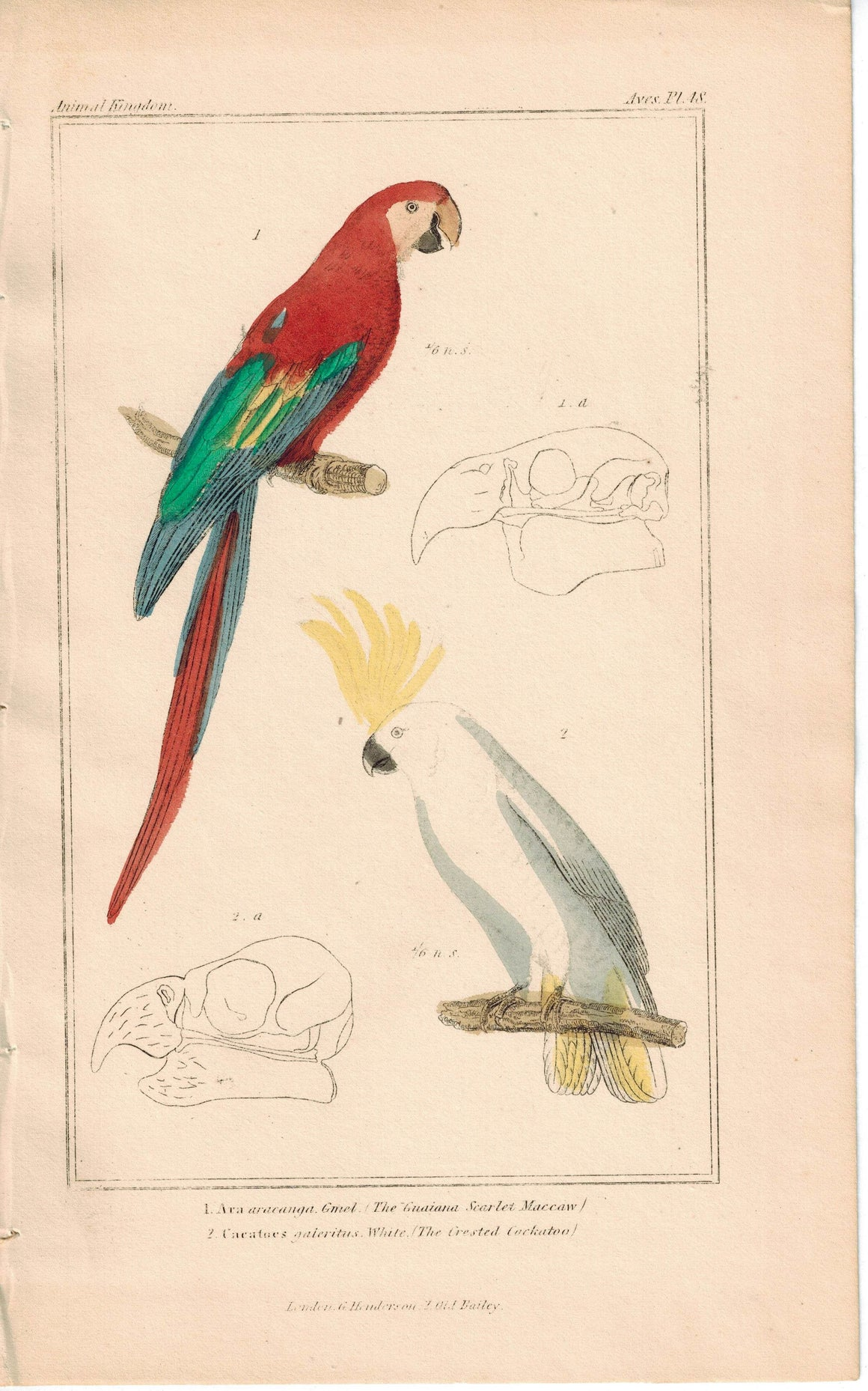 Birds Guaiana Scarlet Macaw & Crested Cockatoo 1837 Engraved Cuvier Print