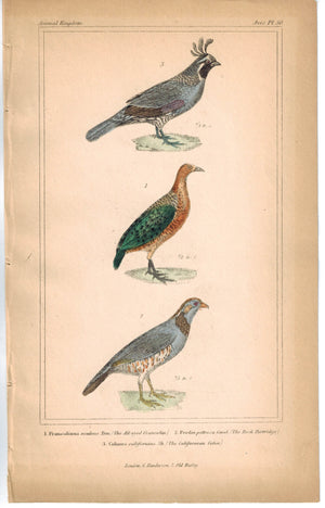 Birds All-eyed Francolin Rock Partridge & Californian Colin 1837 Cuvier Print