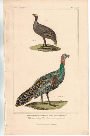 Birds Billed Guinea Hen & Golden Green-necked Turkey 1837 Cuvier Print