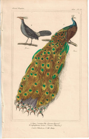Birds Pavo Common Peacock & Cuvier's Pheasant 1837 Cuvier Print
