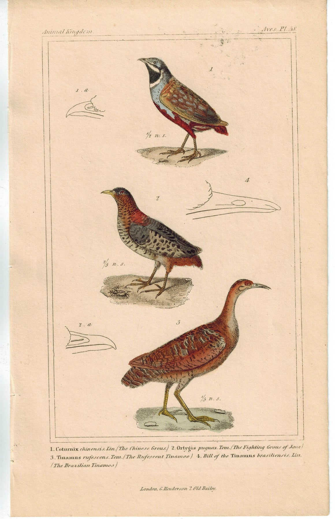 Birds Chinese Grouse & Brazilian Tinamoo 1837 Antique Engraved Cuvier Print