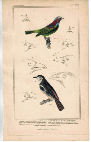 Birds Blue headed Tanagra & White necked Thrush 1837 Engraved Cuvier Print
