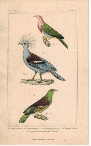 Birds Crowned Pigeon and Columba & Spicy Vinago 1837 Engraved Cuvier Print
