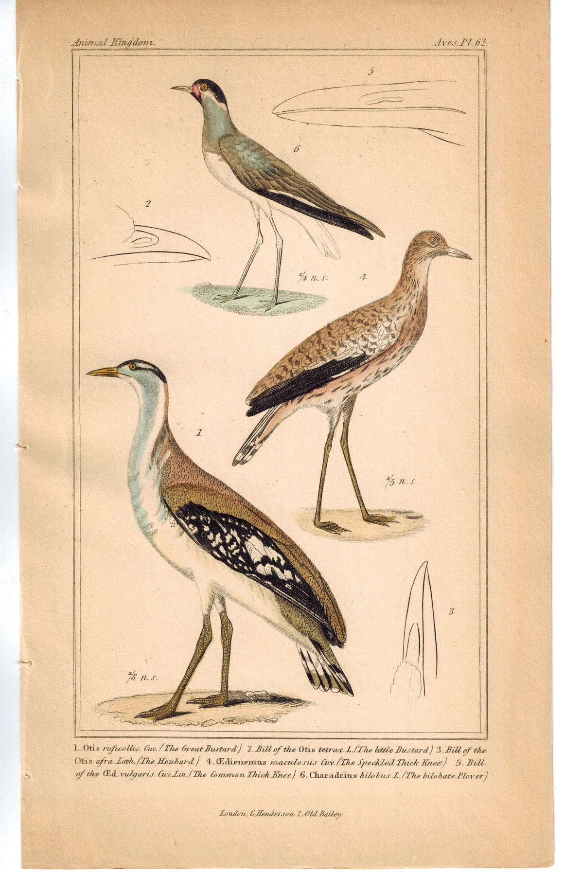 Birds Great Bustard Spotted Thick Knee & Plover 1837 Engraved Cuvier Print